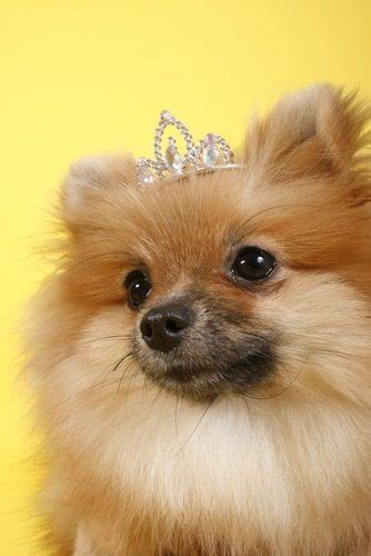 real pomeranian 10 things you should before owning a pomeranian top 10 lists listland