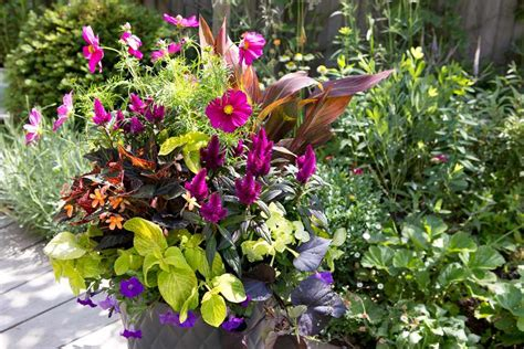 cosmos  canna summer pot display bbc gardeners world