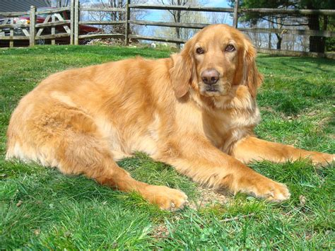 gold golden retriever rescue bodhi gh 824 goldheart golden retriever rescue