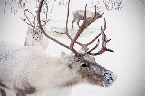 reindeer printable wall art extra large wall art winter reindeer snow photo caribou in