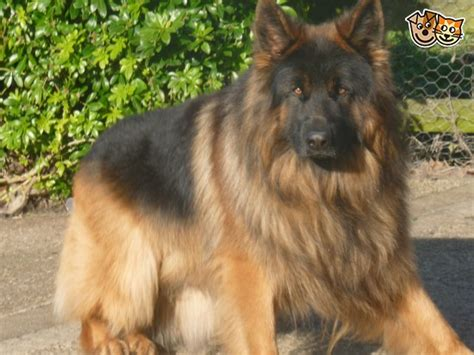 how many puppies can a german shepherd coated breeders central tx german shepherd forums