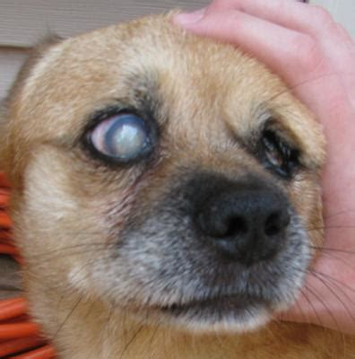 puppy cataracts treatment for eye cataract in