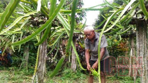 Bibit Buah Naga Jambi tingkatkan produksi warga kuripan tambah lahan buah naga