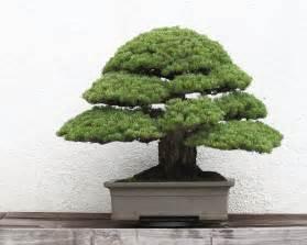 garten bonsai winterfest machen file japanese white pine bonsai 2011 05 29 jpg