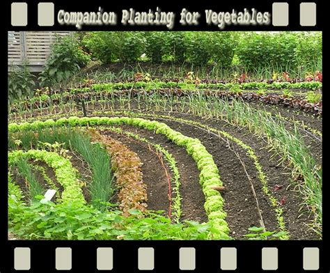 Companion Planting Guide For Vegetables Companion Flowers For Vegetable Garden