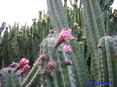 cactus fiori fiori di cactus cactus flowers