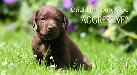 how to aggressive aggressive puppy how to recognize and treat puppy aggression