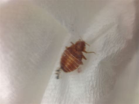 female bed bug male or female bedbug id please a looks like female