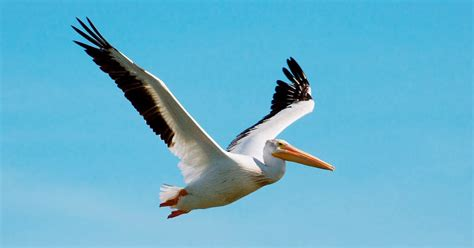 themes pelican blog wallpapers american white pelican wallpapers
