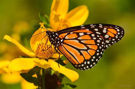 imagenes de mariposas monarcas santuario de mariposas monarcas related keywords