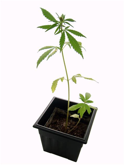 Yes Im A Ganja Planter by Will A Shotgun Of Marijuana Show Up On A Test
