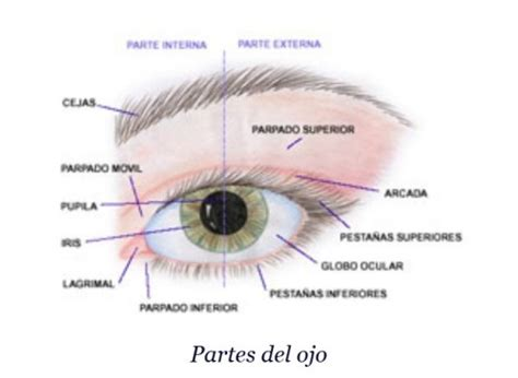 imagenes de los ojos y sus partes imagen del ojo y sus partes para ni 241 os imagui