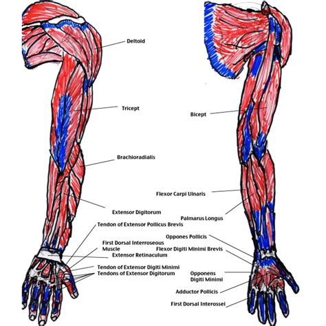 arm muscles diagram muscles of the arm diagram modernheal
