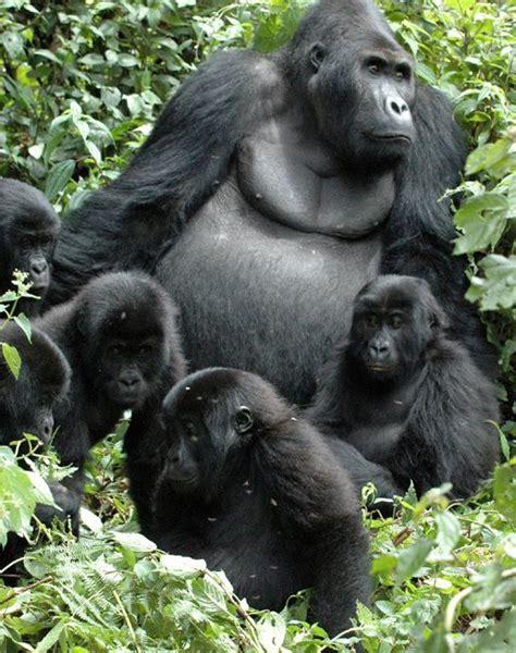 17 Best images about Gorillas, Apes, Monkeys on Pinterest ...