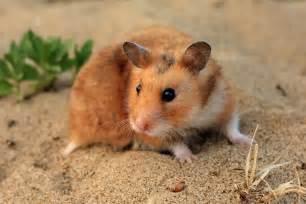 Choosing a pet hamster