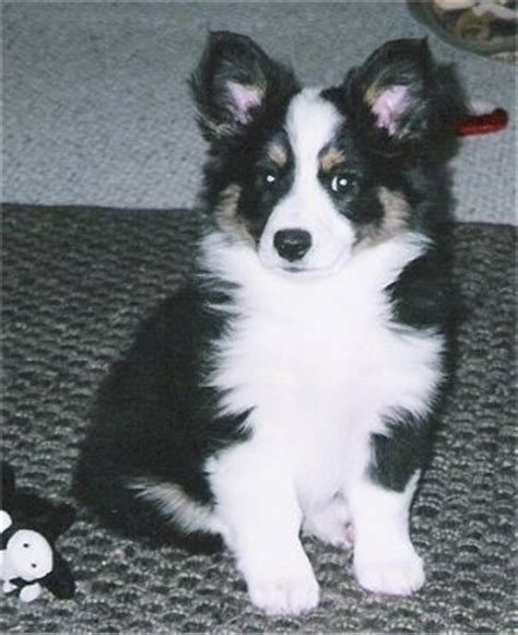 aussie corgi puppies australian shepherd puppies on aussie corgi miniature australian breeds picture