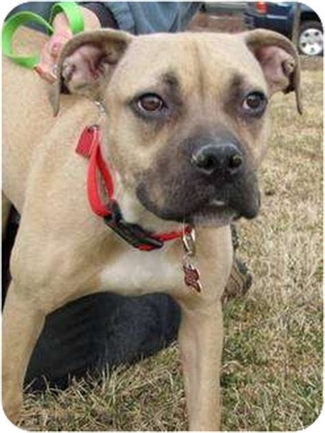 mastiff pug american pit bull terrier mix for adoption in rockaway new jersey breeds picture
