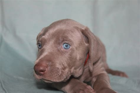 available puppies available puppies breeds picture