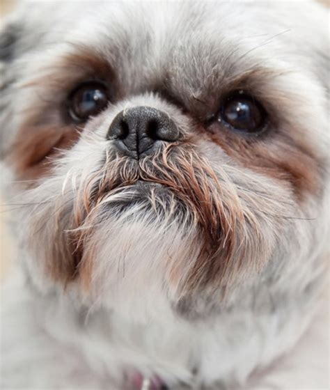 shih tzu tips advice 10 cool facts about shih tzus dogs tips advice me