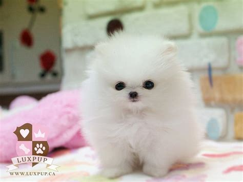 all white teacup pomeranian teacup white pomeranian bringing the cutest and the tinies flickr