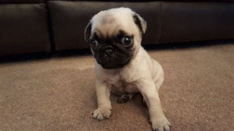 pug rescue bc teacup pugs adoption breeds picture