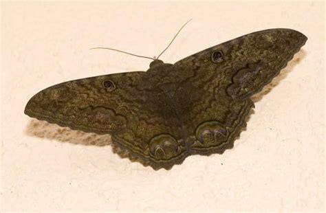 imagenes de mariposas nocturnas expediente oculto animales anunciadores de muerte la