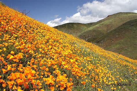 alpenglow images california poppy  wildflower