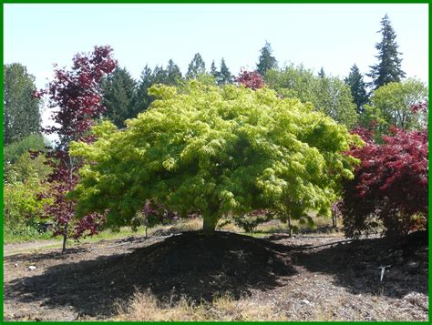 transplanting a maple tree all you want about the japanese maple tree nurserylive gardening in india