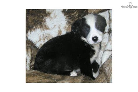 mcnab puppies for sale meet a mcnab puppy for sale for 250 mcnab border collie puppy