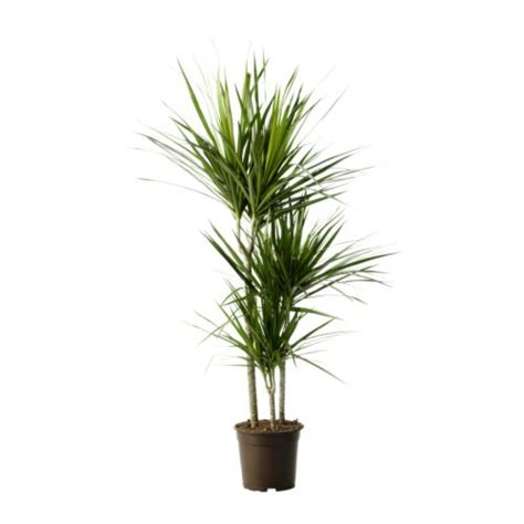 in door plants pot three four plants argements video dracaena marginata rostliny ikea