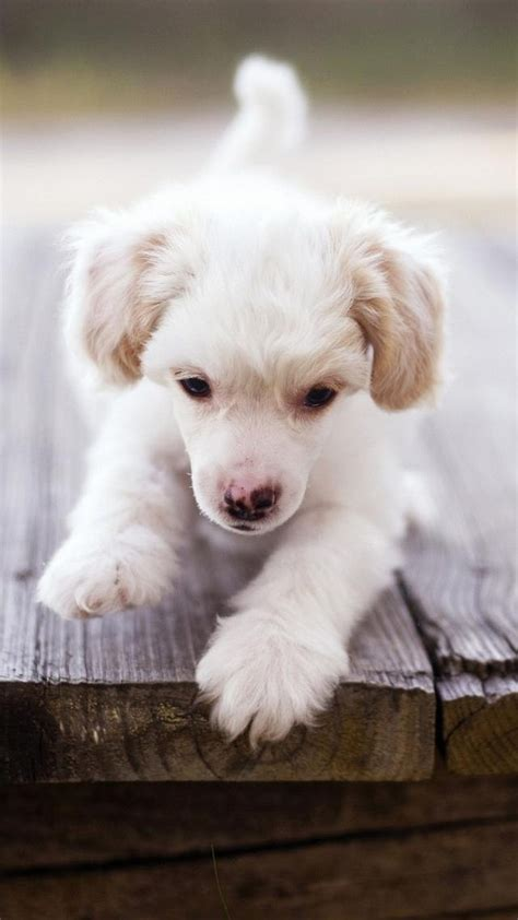 wallpaper for iphone puppies puppy dog cute puppies wallpapers for iphone animals
