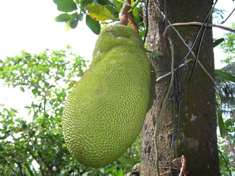 Pohon Angka fruits in indonesia