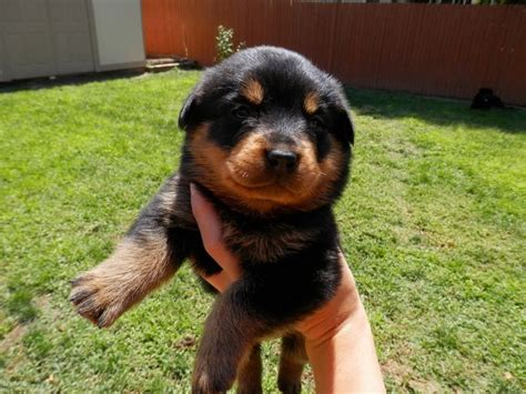 colorado rottweiler 17 best ideas about rottweiler puppies for sale on german rottweiler