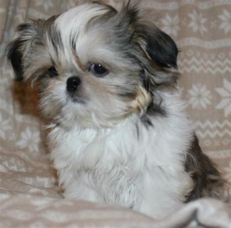 shih tzu baby best 25 baby shih tzu ideas on shih tzu puppy shih tzu and shih tzu