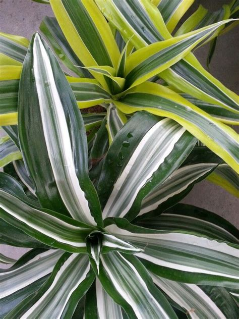variegated dracaena tropical plants plants diy garden