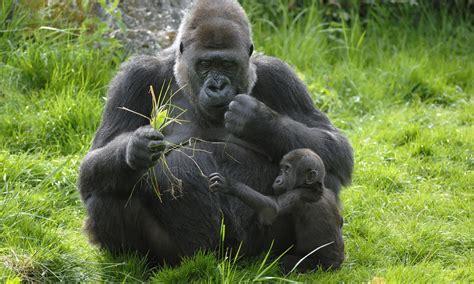 western lowland gorilla threats   Photos   WWF