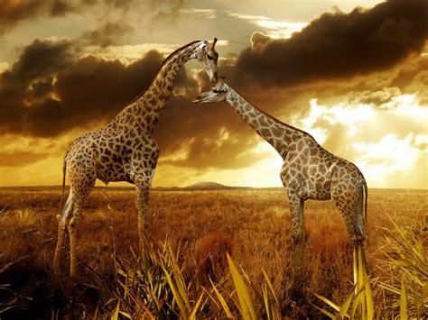 imagenes de jirafas enamoradas jirafa wallpaper imagui
