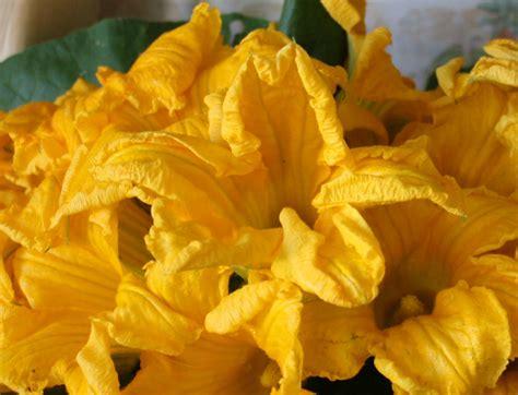 foto fiori di zucca quel mazzolin di fiori di zucca