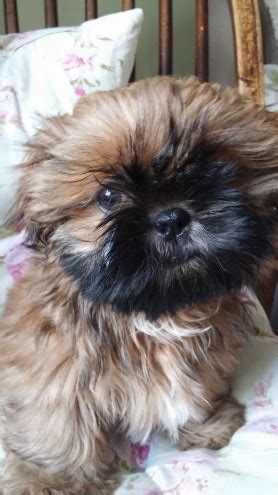 shih tzu for sale hastings quality kc registered puppies sold hastings east sussex pets4homes