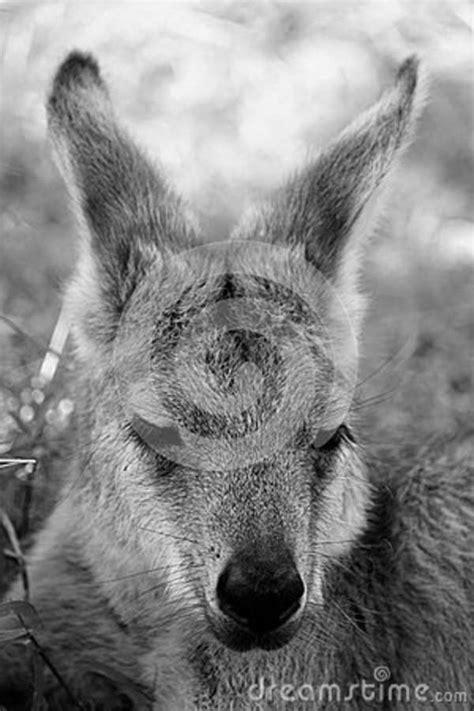 Kangaroo Picture. Image: 86180041