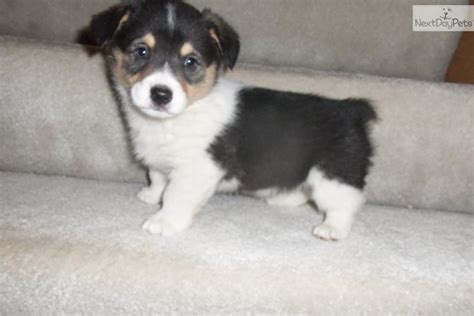 corgi puppies for sale in iowa corgi puppy 8 weeks breeds picture