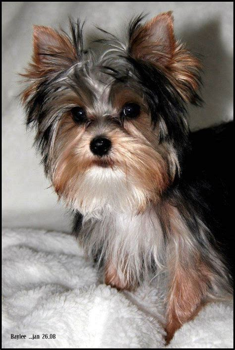 when is a yorkie considered grown teacup morkie purebred yorkies and morkies grown teacup morkie breeds picture