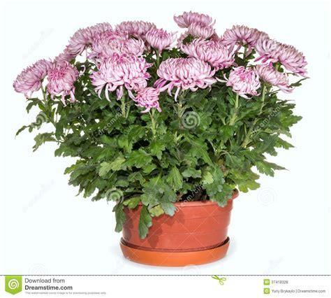 crisantemi in vaso crisantemi in vaso da fiori fotografie stock libere da