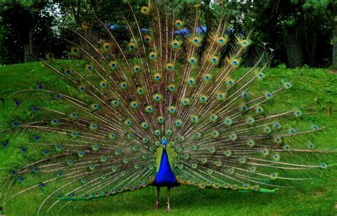 desktop nature wallpaper indian blue peacock free most beautiful peacock hd wallpapers full hd 1080p hd