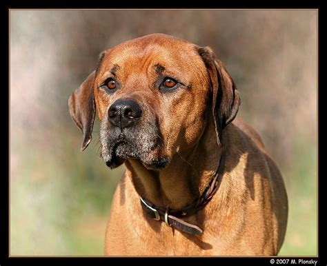 rottweiler bullmastiff mix mastiff and rottweiler mix breeds picture