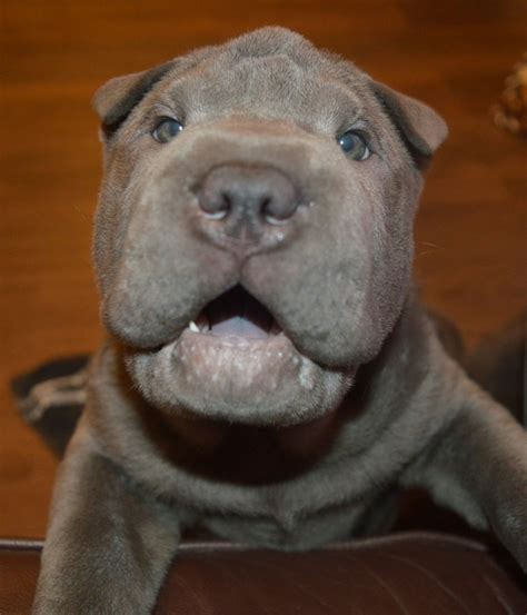 shar pei puppies babies available mowgli kc silver blue pei baby manchester greater manchester pets4homes