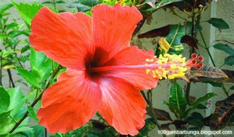 bunga sepatu struktur gambar dan bagian bagiannya gambar bunga