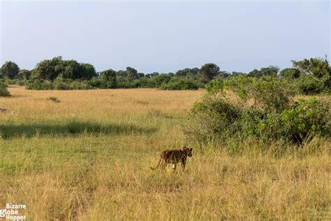 queen elizabeth national park uganda queen elizabeth national park chasing lions at queen elizabeth national park in uganda