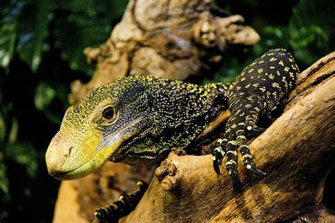 worlds  dangerous lizards  turtles britannicacom