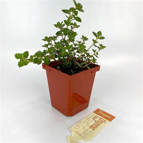 thyme  provence  herbs arts nursery garden